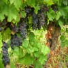 Sagrantino Wine - Grape