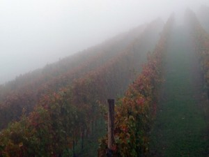 Barbaresco - Nebbiolo Vineyard